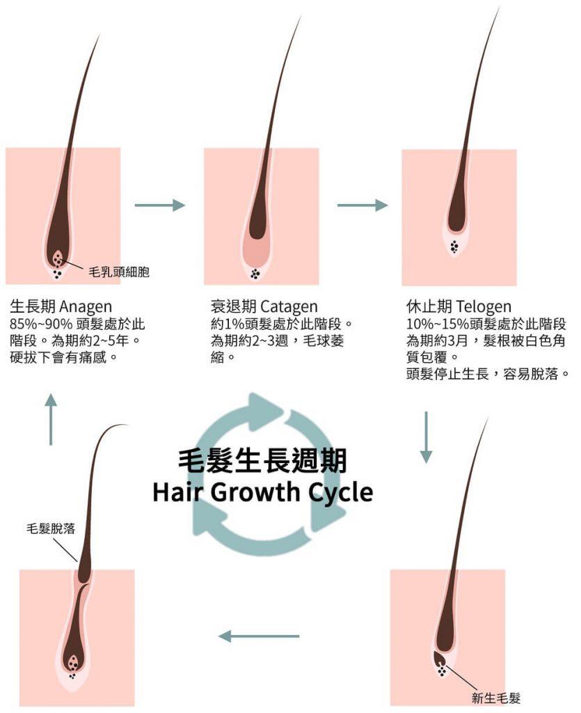 毛髮生長週期 hair growth cycle